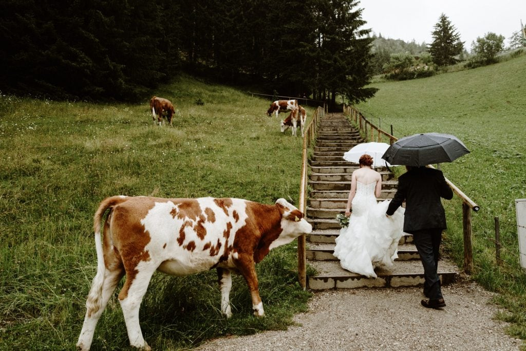 Bride and groom elope with cows in Austria